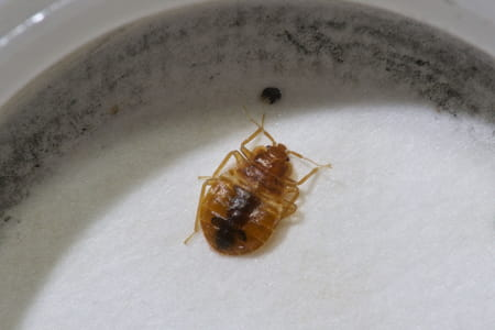 WHERE DO BED BUGS HIDE ON YOUR BODY