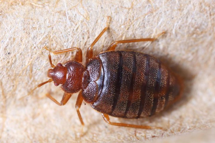 How To Get Rid of Bedbugs?