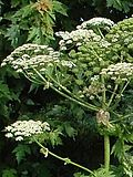 Recognize And Eliminate Giant Hogweed