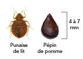 Recognize Bed Bugs And Prevent Infestation
