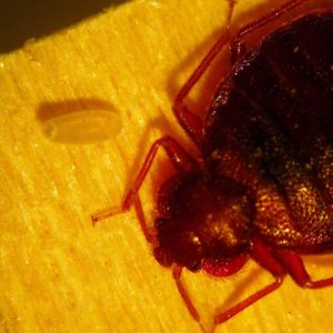 Can Bed Bugs Live In Hair?