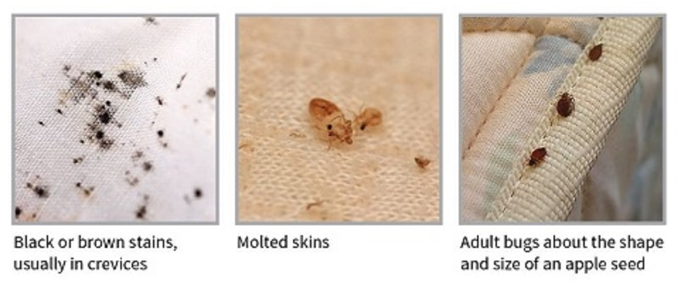 Flea Bites vs Bed Bug Bites vs Dust Mite Bites